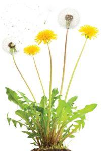 NH-MA11-dandelion-plant