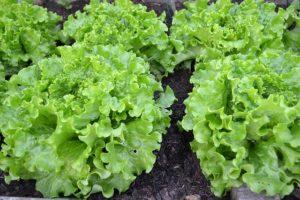 green-salad-1533956_640